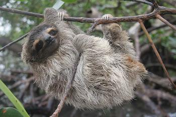pygmy-three-toed-sloth